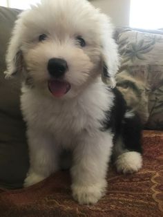 Meet Kaylee my friends new puppy, 10 weeks old today! Fluffy Dogs, Fluffy Animals, Cute Baby Animals, Sheep Dog Puppy, Dog Cat, Sheep Dogs, Cute Dogs And Puppies, I Love Dogs, Doggies