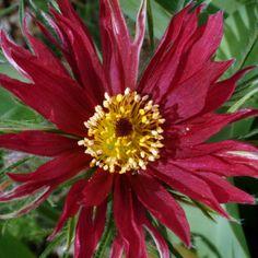 pulsatilla- Pasque Flower