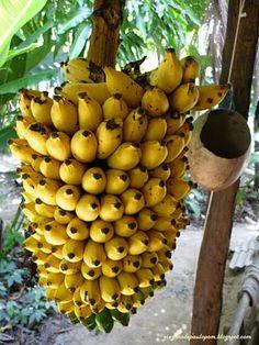 Banana, fruta típica do Brasil. Pode comer pura porque é doce de natureza, mas fica boa também com mel, com aveia, de tudo que é jeito.