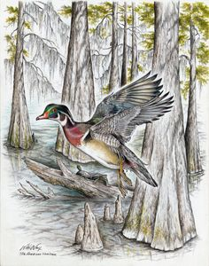 The American Wood Duck