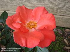 Beautiful December Bloom from the garden of rosarian Chris VanCleave fed Authentic Haven Brand Natural Brew