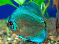 mundo de los peces en el acuario: Disco Symphysodon Aequifasciatus