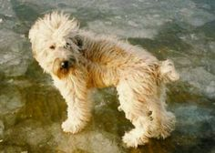 Soft wheaten terrier.I would love to have this dog