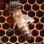 Trouver la reine | L'Abeille du Forez Backyard Beekeeping, Homestead Survival, Bee Happy, Queen Bees, Bee Keeping, Pollen, Queens, Garden, Photos