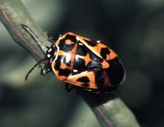 10 Fascinating Facts About Stink Bugs: The brilliantly colored harlequin stink bug.