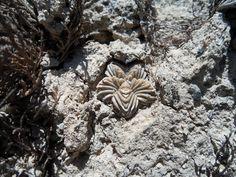 Aztekium valdezii, photo by Mario Alberto Valdez Marroquin