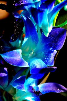 blue singapore orchids   Blue Singapore Orchid 1   Flickr - Photo Sharing!