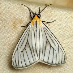 Tiger moth, Xenosoma dubia?