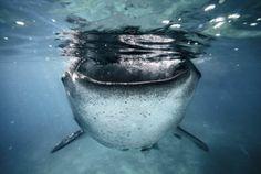 食欲旺盛なジンベエザメ(フィリピン・セブ島)
