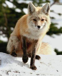 Red Fox At Mount Rainier Photograph