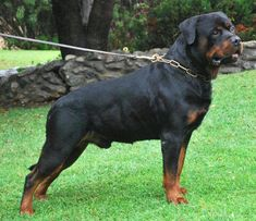 german rottweiler puppies - Google Search