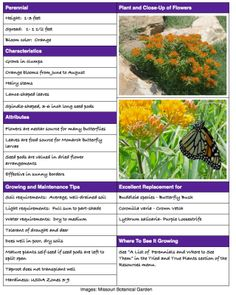 butterfly milkweed plant details