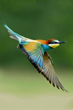 Birds | European Bee Eater