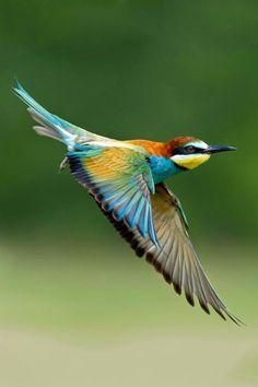 Birds | European Bee Eater