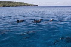 Spinner dolphins off the coast of Lana'i