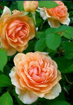 Pegasus-David Austin English rose, blooms with an ivory edge and apricot centers, sweet rose and fruit fragrance. - Love my David Austin roses! Love Rose, Pretty Flowers, Purple Flowers, Purple Ombre, Cut Flowers, Rosas Color Salmon, Beautiful Roses, Beautiful Gardens, Austin Rosen
