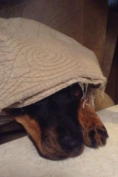Hiding under the covers #rottweiler