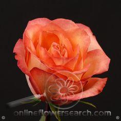 Rose Fancy Amazone - Cut Flower Wholesale, Inc. -- leading wholesale florist in Atlanta, GA U.S.A.