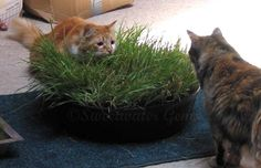 "DIY: Indoor Cat Lawn!  Wonder if this would grow indoors for ""winter"" grass?"