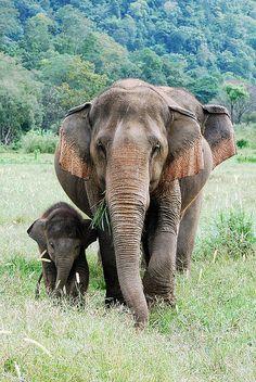 * Los elefantes asiáticos son una de las especies que está en peligro crítico de extinción. Según la WWF, quedan entre 25,600 y 32,750 individuos.
