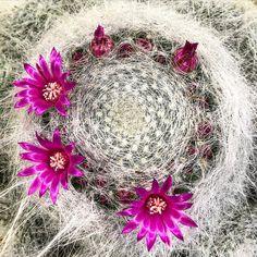 #botanical #flora #mammillaria_hahniana #cactus #bloom