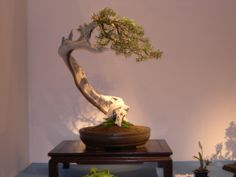 Bonsai Show 2004 - California Juniper (300 years old) from the Marin Bonsai Club
