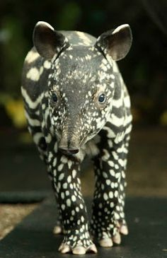 Baby Malayan tapir (that's the black and white kind)