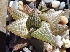 Succulent Plant Information: Haworthia venosa ssp. tesselata
