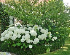 isotoma 39 white splash 39 als bodendecker in wei und evt blau garten pinterest pflanzen. Black Bedroom Furniture Sets. Home Design Ideas