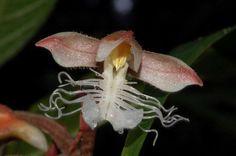 Orquidea - Anoectochilus ou (orquidea jóia) por causa de sua atraente venação foliar
