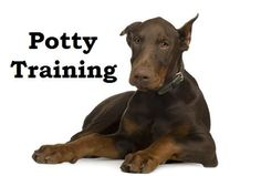 Doberman Pinscher Puppies. How To Potty Train A Doberman Pinscher Puppy. Doberman Pinscher House Training Tips. Housebreaking Doberman Pinscher Puppies Fast & Easy. Share this Pin with anyone needing to potty train a Doberman Pinscher Puppy. Click on this link to watch our FREE world-famous video at ModernPuppies.com Puppy Potty Training Tips, Puppy Obedience Training, Dog Training Methods, Basic Dog Training, Dog Training Techniques, Training Dogs, Doberman Training, Training Classes, Doberman Pinscher Puppy