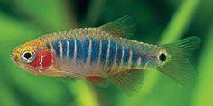 Emerald Dwarf Rasbora (Microrasbora erythromicron) | Tropical Fish ...