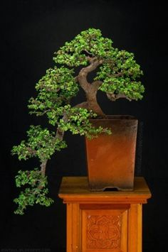 Indoor Benches - A Single Is Ideal For Creating A Cozy Den House Jade Bonsai Cascade Jade Plants, Plants, Bonzai Tree, Succulent Bonsai, Japanese Garden, Jade Tree, Deciduous Trees, Jade Bonsai, Miniature Trees