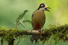 Black-cheeked Woodpecker - Black-cheeked Woodpecker (Melanerpes pucherani) perched on a branch at Sarapiqui, Costa Rica. For more visit http://www.chrisjimenez.net