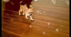 Be Prepared For Your Day To Be Made! A Chihuahua Puppy Playing With Bubbles, In Slow Motion, Is PERFECTION! | The Animal Rescue Site Blog
