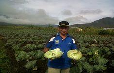 Dinas Tanaman Pangan dan Holtikultura (DTPH) Papua merilis tulisan dan sejumlah foto, yang menunjukan fakta hasil panen sayur 25 hektar di ...