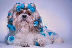 Shih Tzu Dog