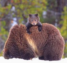 Osos · Bears