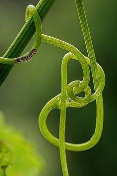 Videira, Gavinha, Planta De Escalada, Verde, Loop