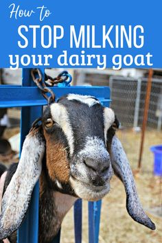 Don't just walk away - your goat can develop mastitis. Here's the right way to stop milking (dry off) your dairy goat. Keeping Goats, Raising Goats, Goat Pen, Goat Care, Boer Goats, Hobby Farms, Chickens Backyard, Livestock, Homestead