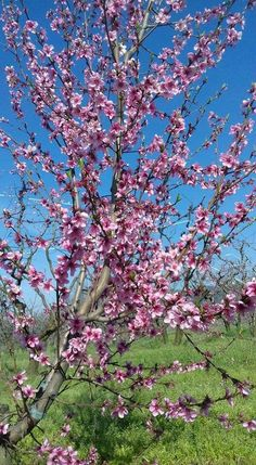 Cherry Blossoms, Flower Power, Trees, Seasons, Colour, Spring, Plants, Beautiful, Beautiful Landscapes