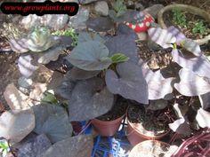 Ipomoea batatas Blackie - How to grow & care Sweet Potato Plant, Growing Sweet Potatoes, Season Colors, Houseplants, Garden, Garten, Indoor House Plants, Lawn And Garden, Gardens