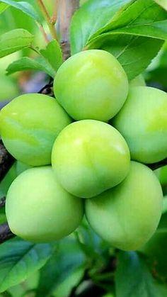 Vietnam ♥♥♥ Fruit Plants, Fruit Garden, Fruit Trees, Green Fruit, Fruit And Veg, Fruits And Vegetables, Beautiful Fruits, Beautiful Flowers, Fruit Bearing Trees