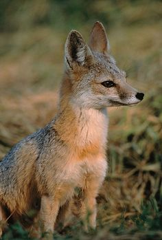 The Kit Fox (Vulpes macrotis) is native to the deserts of the western United States and Mexico. Its skinny body and large ears are adaptive to desert life, like the coyotes it somewhat resembles.  There are eight subspecies of kit fox, mostly named after their habitats, like the San Joaquin Kit Fox (Vulpes macrotis mutica).