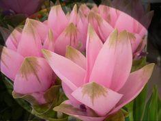 Il fiore di oggi: la Curcuma  www.fioreriasarmeola.com