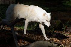 Gray Wolf 03 by Jeff Sorenson