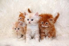 Kittens in various shades of ginger - copper, bronze, strawberry blonde, and auburn, respectively. AAAAAAAAAAAAAAA