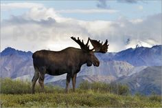 pictures of moose in Denali park | Rose - A large bull moose stands on the tundra of Denali National Park ...