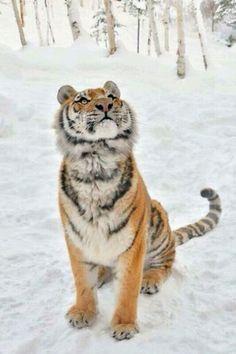 Tiger tijger