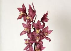Cymbidium Orchid a perfect gift for Christmas